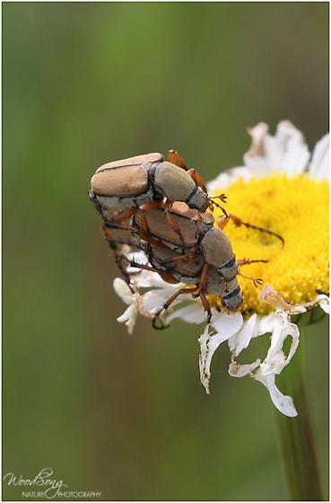 unknown - Macrodactylus