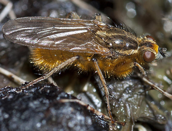 Golden Dung Fly - Scathophaga stercoraria - male