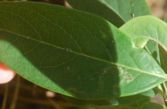 St. Andrews leaf miner on Lonicera sempervirens SA312 2016 5 - Aulagromyza orbitalis