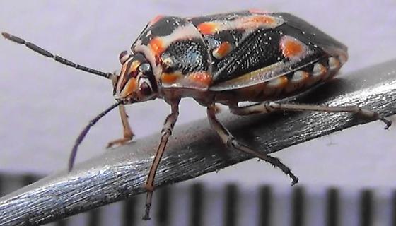 Big Bagrada Bug - Bagrada hilaris - female
