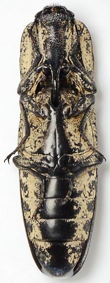 Alaus lusciosus