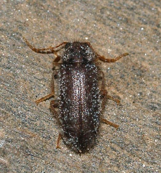 beetle - Rhadalus