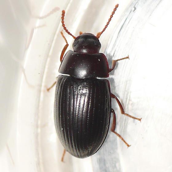 Darkling beetle 09.05.10 (2) - Platydema americanum
