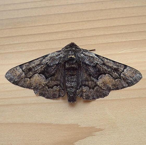 Geometridae: Phaeoura mexicanaria - Phaeoura mexicanaria