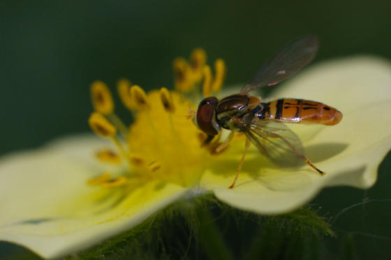 Bee? - Toxomerus marginatus - male