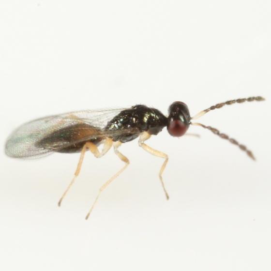 Pnigalio flavipes - Pnigalio minio - female