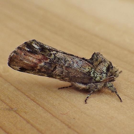 Notodontidae: Schizura unicornis - Schizura unicornis