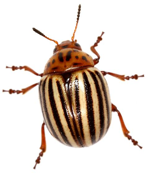 Colorado Potato Beetle? Female?