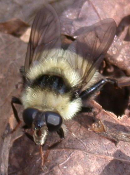 Beeish fly - Criorhina nigriventris - female