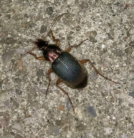 Unknown Indiana Carabidae - Chlaenius tricolor