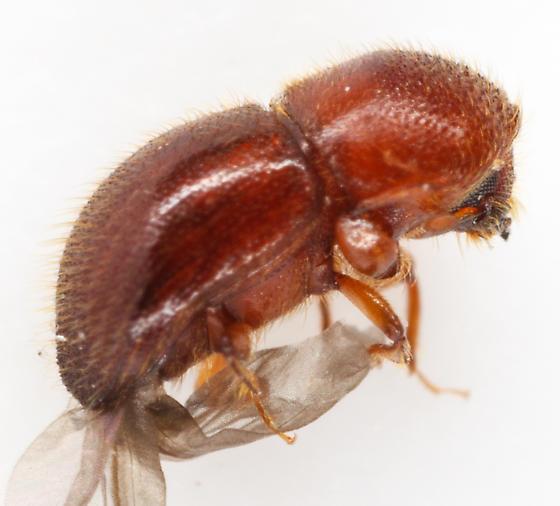 scoly - Xylosandrus crassiusculus