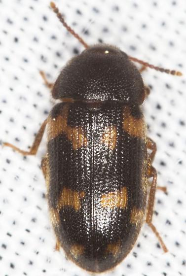 Mycetophagus obsoletus? - Mycetophagus