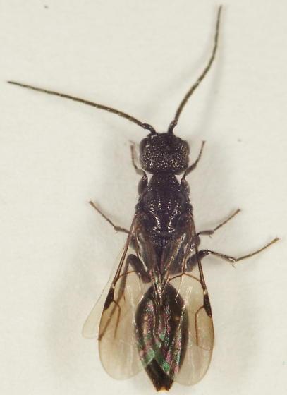 Unknown Hymenoptera - Pristepyris - male