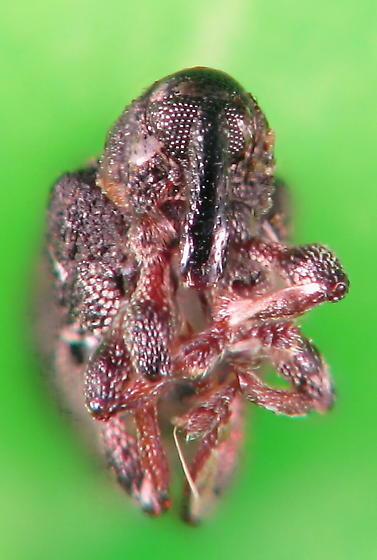 weevil night - weevil #5 - smaller still - Tanysphyrus lemnae