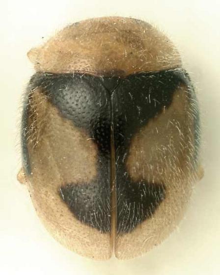 Decadiomus bahamicus Casey - Decadiomus bahamicus
