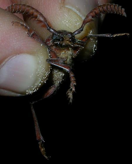 Beetle from NM - Prionus integer