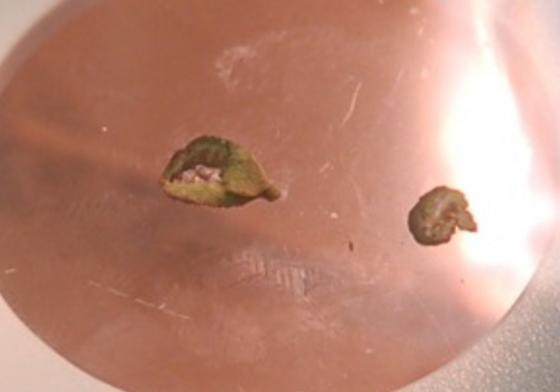 St. Andrews leaf galls on Ilex vomitoria SA_G82 2016 3 - Gyropsylla ilecis