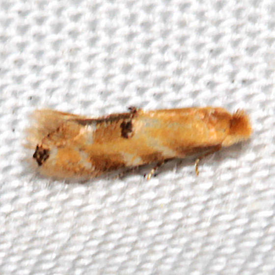 Bucculatrix coronatella