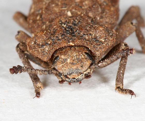 rough textured beetle - Phellopsis obcordata