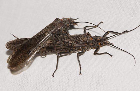 Giant Stoneflies - Pteronarcys pictetii - male - female