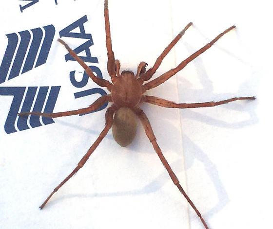 Brown Spider needing ID - Titiotus
