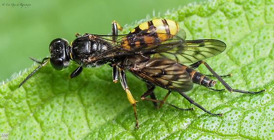 Hymenoptera. Crabonidae. - Crossocerus binotatus - female