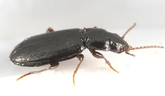 ground beetle - Tachyta