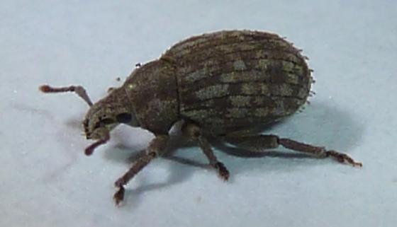 Trachyphloeus bifoveolatus? - Romualdius scaber