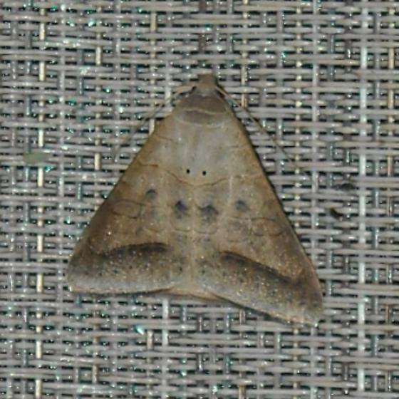 Cool Little Moth - Mocis marcida