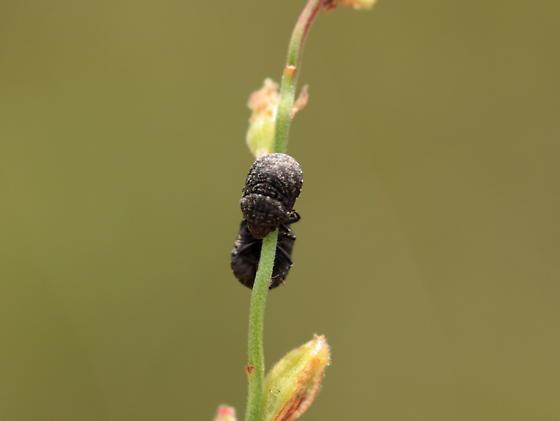 Genus Acantholomidea... - Acantholomidea