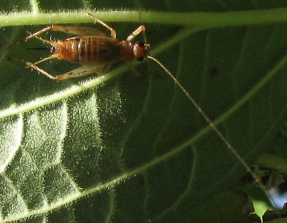 Tan bush cricket - Anaxipha exigua - female