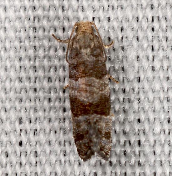 Corticivora - Corticivora clarki
