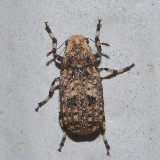 unknown, looks like weevil - Euparius marmoreus
