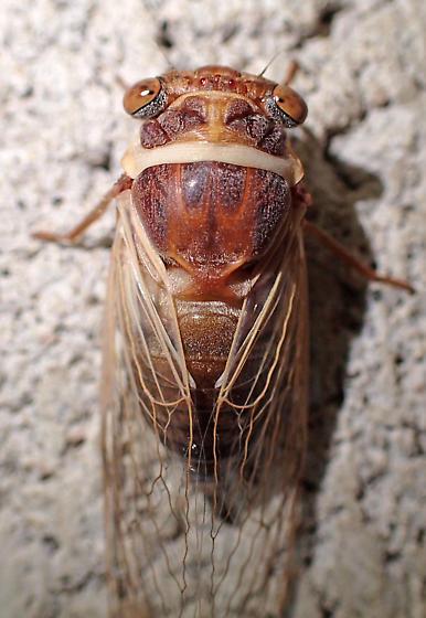 Desert cicada - Diceroprocta apache