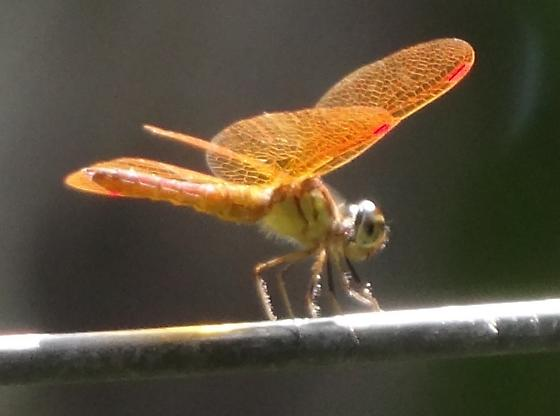 Slough Amberwing dragonfly - Perithemis domitia - male