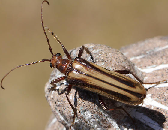 Large Beetle - Ortholeptura insignis