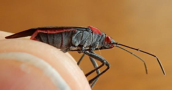 Jadera haematoloma - Red-shouldered Bug - Jadera haematoloma