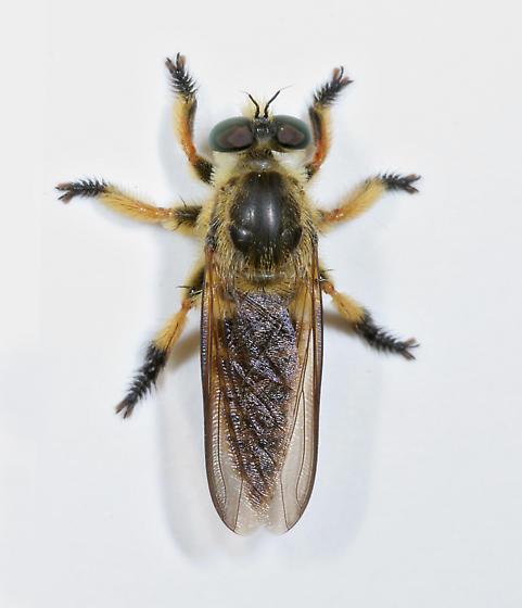 Robber Fly 06 - Megaphorus clausicellus
