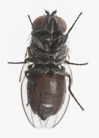 Fly - Pholeomyia indecora
