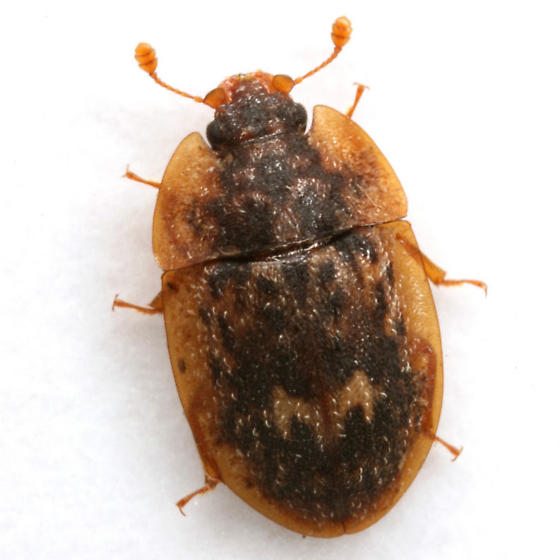 Lobiopa undulata (Say) - Lobiopa undulata