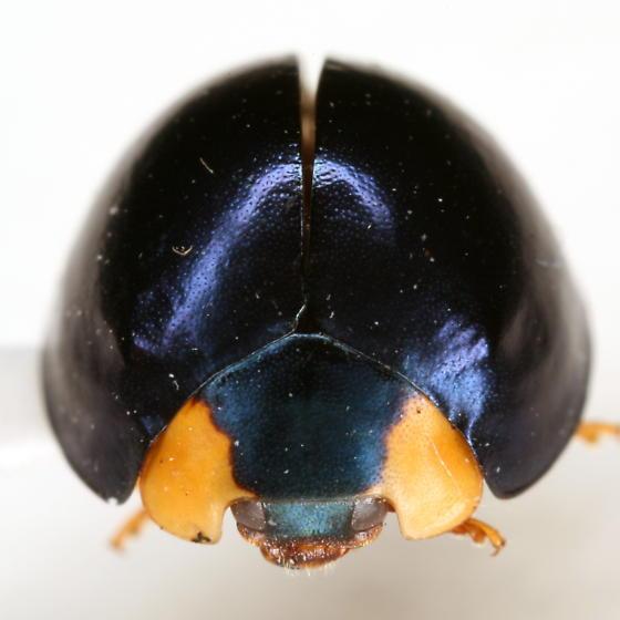 Curinus coeruleus (Mulsant) - Curinus coeruleus