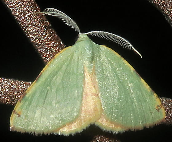 Chloraspilates bicoloraria - male