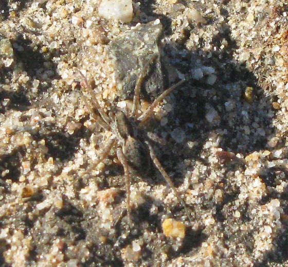 Sand Spider - Pardosa