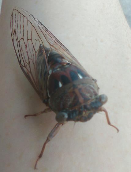 Found a cicada I haven't seen before. I think it's a neotibicen resonans - Megatibicen resonans
