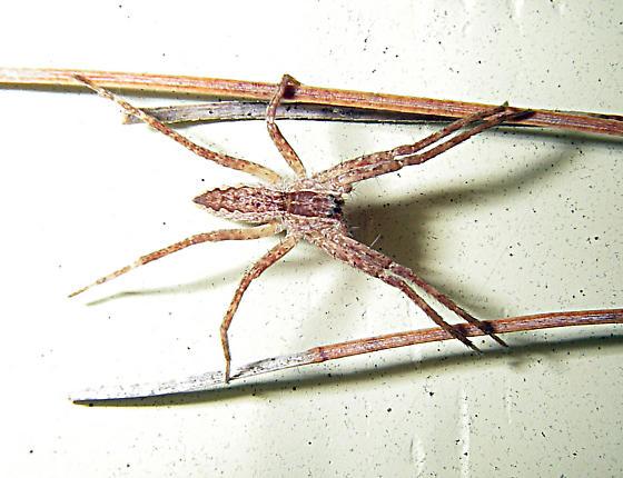 Brown Spider 17 - Pisaurina mira