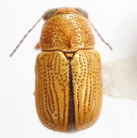 Pachybrachis nero Bowditch - Pachybrachis nero