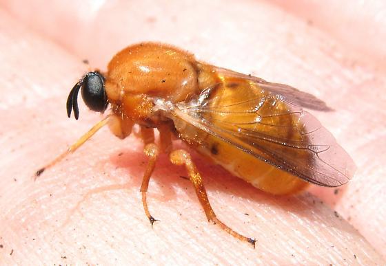 Acrocerid - Ocnaea - female