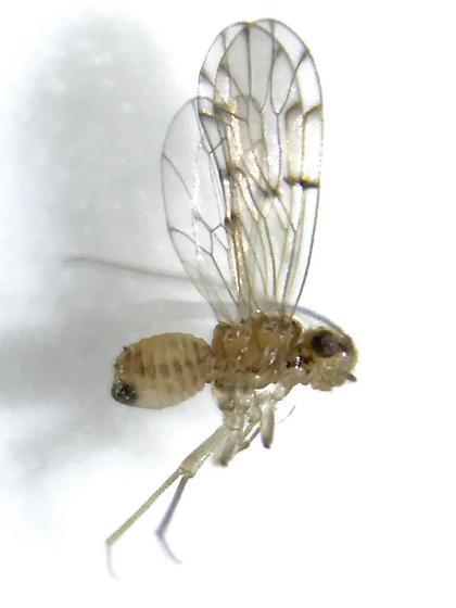Ectopsocus