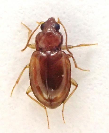 Car Tre Bem: Elaphropus sp.? - Elaphropus obesulus