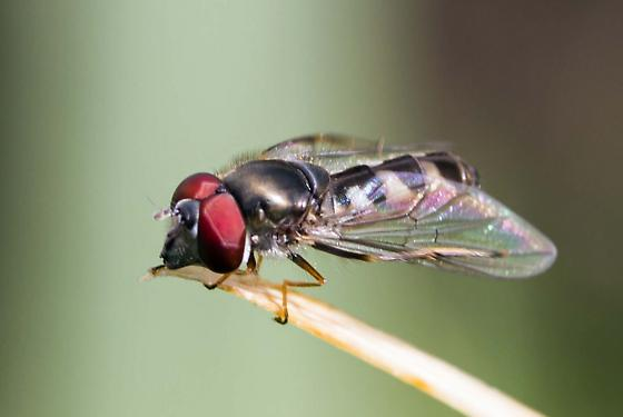 Syrphid Fly 2 - Platycheirus